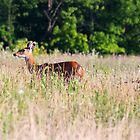 Deer in Prairie - Fernald Preserve by Tony Wilder