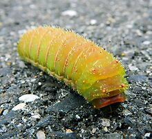 Luna Moth Caterpillar by Sharon Woerner