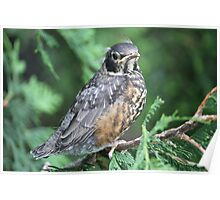 Baby Robin learning to fly Poster