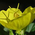 Evening Primrose by Ron Russell