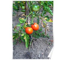 Almost Ripe Tomatoes Poster