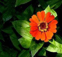 Orange Zinnia Elegans by ivDAnu