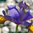 Iris by freshairbaloon