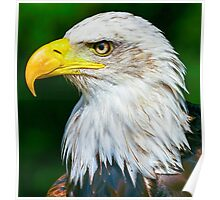Bald Eagle Head Poster
