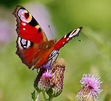 Peacock Butterfly on Thistles by AnnDixon