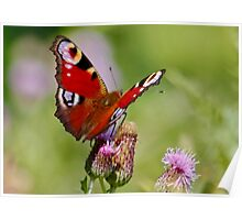 Peacock Butterfly on Thistles Poster
