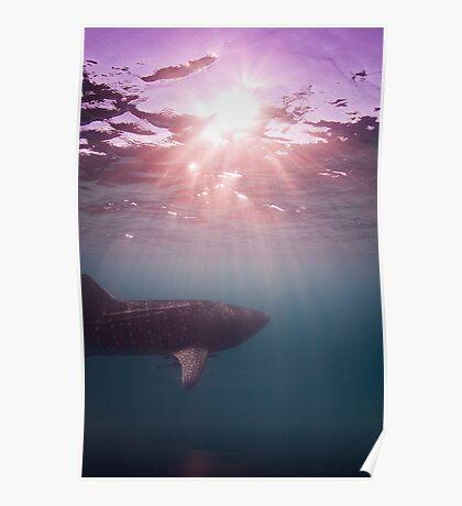 Ningaloo whale shark sunset Poster