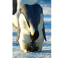 Hatching Emperor Penguin Photographic Print