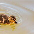 Thirsty duckling by Arve Bettum