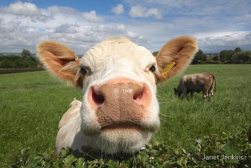 Amazoncom cow flag
