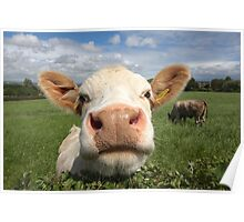 Funny cow looking over hedge Poster