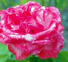 Hot pink rose by ♥⊱ B. Randi Bailey