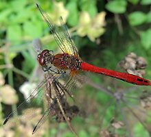 Ruddy Darter 08 by Magic-Moments