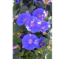 Morning Glory Flowers Photographic Print