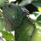 green iguana by Bernhard Matejka