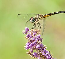 Female Blue Dasher Dragonfly on Liriope by Bonnie T.  Barry