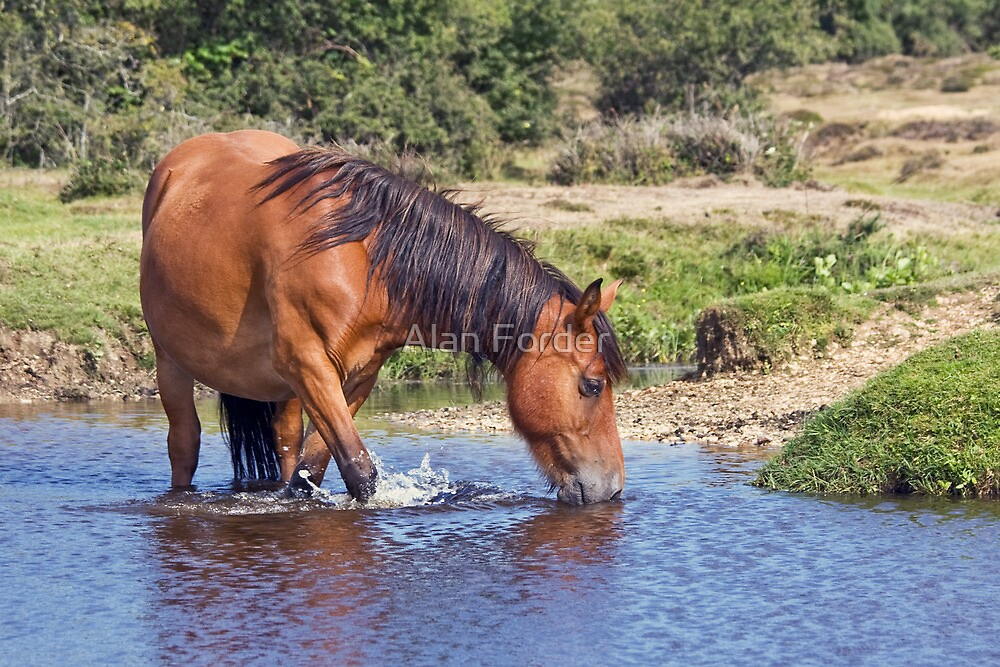 New forest pony by Alan Forder