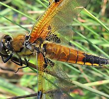 Four-spotted Chaser 03 by Magic-Moments