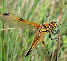 Four-spotted Chaser 07 by Magic-Moments