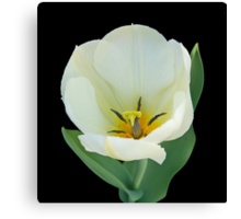 Open White Tulip Canvas Print