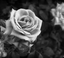 Pink Roses in Anzures 1 B&W by Christopher Johnson