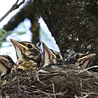American Robins waiting for food by Robert Wirth