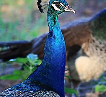 Peacock Blue by Cassandra Scarborough