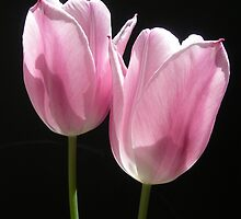 Two Pink Tulips by gurineb