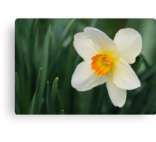 One Miniature Daffodil Canvas Print
