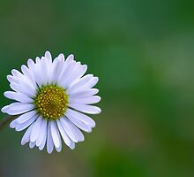 a small white flower by Tom Klausz