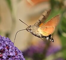 Hummingbird Hawk Moth by Mark Hughes