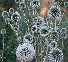 Seed Head Of Leek Flower Allium Sphaerocephalon by taiche