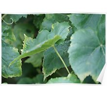 Grape Leaves Poster