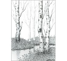 BIRCH TREE 02 Photographic Print
