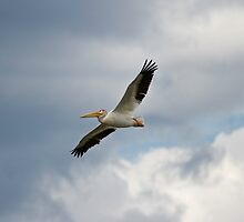 Pelican In Flight by Thomas Young