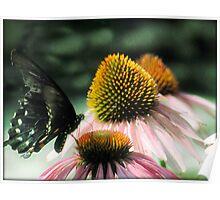 Black Butterfly on Pink Echincea flower nursery art Poster