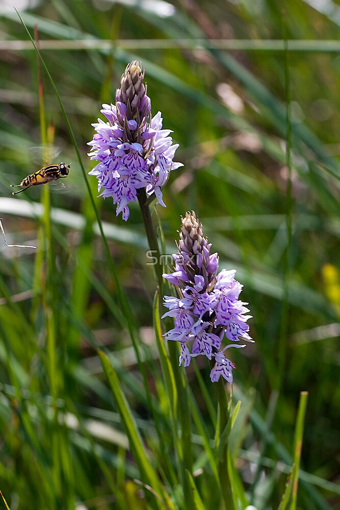 Orchids and Hoverfly by Smaxi