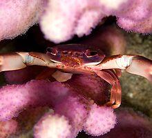 Purple coral crab by Valerija S.  Vlasov