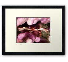 Purple coral crab Framed Print