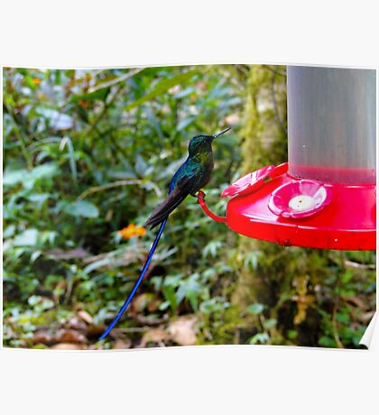 Blue Tailed Hummingbird Poster