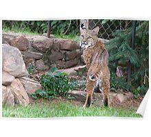 Bobcat in my neighbor's yard Poster
