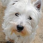 West highland terrier  by Jessica Warren