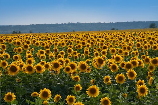 Sunflowers by Yuri Lev