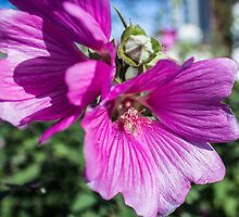 pink mallow lavatera flower by Paul Madden