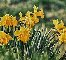 Bunch of Daffs by JulieCoe