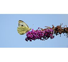 Small White Butterfly.. Photographic Print