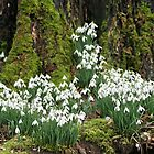 Snowdrops growing up the sides of an old treetrunk by DRWilliams