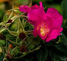 Rose and Rosehip by Cynthia  Magliocco