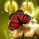 Monarch by Adam Kuehl