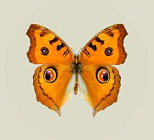 Meadow Argus Butterfly by Vac1